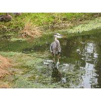 As with most Florida golf courses, water birds provide a pleasant diversion along the way at Windsor Parke G.C. in Jacksonville.