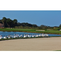 The rare white pelican flocks to the eighth hole of the Estuary nine at the River Strand Golf and C.C. in Bradenton, Fla.