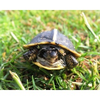 A baby turtle is one of the many residents at Selva Marina Country Club in Atlantic Beach, Florida.