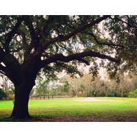 Mossy Oaks are in abundance at historic Winter Park Country Club, just north of Orlando.