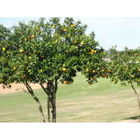 Citrus trees grow along many fairways at Highlands Reserve G.C. near Lakeland, Florida.